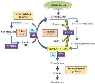 Ciclo dell'omocisteina