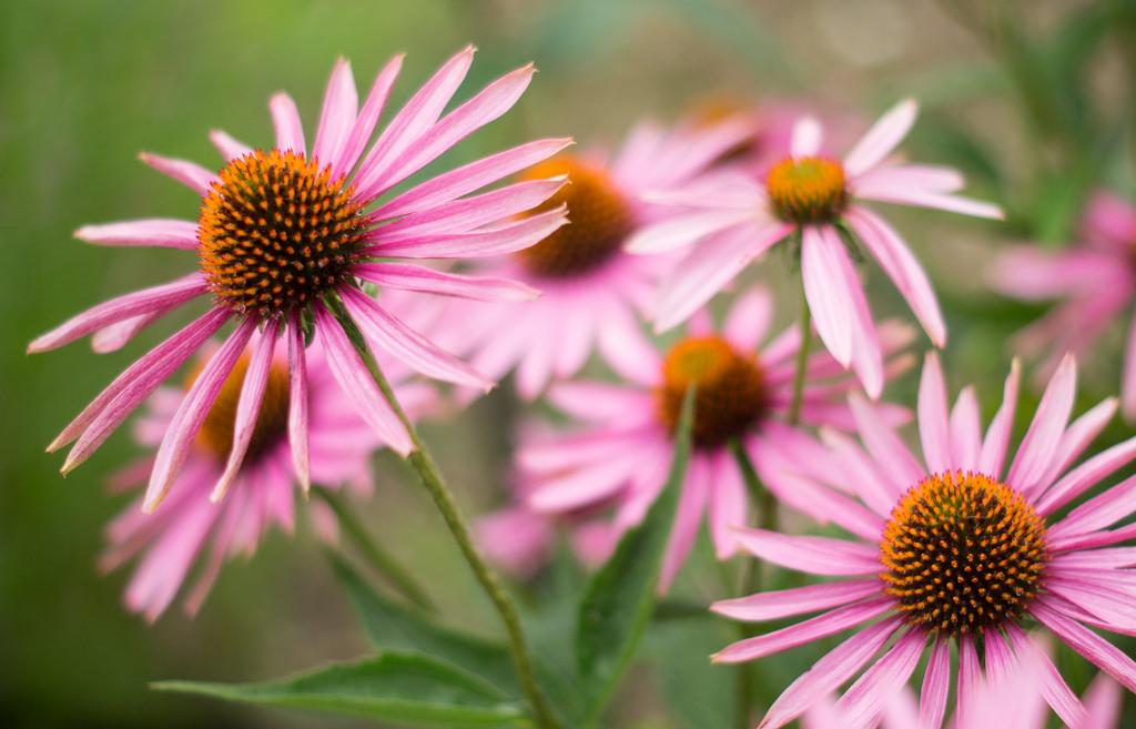 Echinacea Compositum S Forte Heel Guna 10 Fiale Medicinale ...