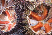 Ricci di mare: fanno male? Proprietà, benefici e come evitare rischi per la salute