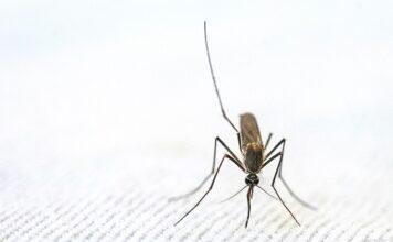 Zanzara coreana: cos'è e perché può essere pericolosa